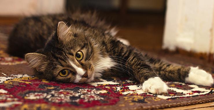 Cat laid on rug