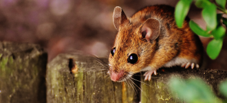 5 Ways to Keep Mice and Rats Away